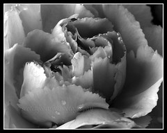 IMG_0036 (scotchjohnnie) Tags: plant flower macro closeup canon mono blackwhite flora petal canoneos waterdroplets sigma105mm sigma105mmexdgf28 canon7dmkii scotchjohnnie