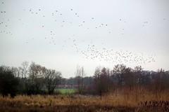 DSCF7590.tif (Ad Sebregts) Tags: bird reed margriet