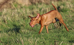 Now Where Did That Hare Go... (Steven Peachey) Tags: dog pet animal canon pointer outdoor run workingdog hungarianvizsla canonef300mmf4l canon7dmarkii hawkdog stevenpeachey