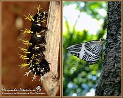 Metamorfose - Colobura dirce (Marquinhos Aventureiro) Tags: brazil brasil butterfly wildlife natureza caterpillar vida borboleta floresta lagarta metamorfose metamorphose selvagem dirce colobura marquinhosaventureiro