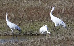 Tres Amigos (ChefeGrande) Tags: bird texas feeding marsh seashore texasstatepark whoopingcrane wintermigration protectedspecie