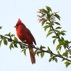 Thinking of spring (JPShen) Tags: red flower tree bird cherry cardinal