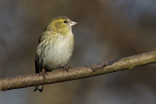 Siskin (Explored 22-01-16)