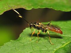 Another Ichneumon (treegrow) Tags: nature insect washingtondc wasp rockcreekpark arthropoda hymenoptera lifeonearth ichneumonidae parasiticwasp taxonomy:family=ichneumonidae canonpowershotsx40hs