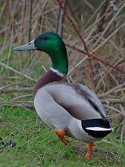 1217-21L (Lozarithm) Tags: ducks studley calne k50 55300 pentaxzoom hdpda55300mmf458edwr