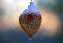 Snow hood (MaiGoede) Tags: winter plants macro nature flora nikon natureza natur natura makro chineselanternplant winterstimmung lampionblume naturfoto awinterday