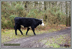 These were wandering around as well (To keep the grass down we were told) (bokosphotos) Tags: trees woods cows panasonic christmasdecorations cutting trials aldershot hungryhill yearly trialsbikes pre65 motorcycletrials talmag panasonicgh3 dmcgh3 1235f28lens talmagtrial2016 hungryhillaldershot