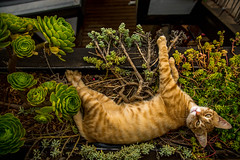 Cat in coffeeshop (Pinolious) Tags: pictures chile travel light orange plants pet cats pets brown plant nature coffee grass cat wow garden eyes awesome picture coffeeshop discover freen
