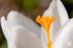 Crocus white (andrea.prave) Tags: naturaleza white flower macro blanco nature fleur closeup natur flor natura crocus pistil  blume fiore  bianco blanc stempel  decerca  weis   fermer vicino   pistilo  extensiontubes   pistillo  crocusvernus davicino   nahansicht   tubidiprolunga  andoer