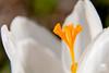 Crocus white (andrea.prave) Tags: naturaleza white flower macro blanco nature fleur closeup natur flor natura crocus pistil 花 blume fiore 自然 bianco blanc stempel زهرة decerca 白色 weis природа 特写 fermer vicino цветок белый pistilo ホワイト extensiontubes أبيض طبيعة pistillo قريب crocusvernus davicino 性质 пестик nahansicht 雌蕊 雌しべ tubidiprolunga 閉じる andoer закрывать مدقةالزهرة