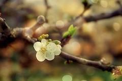Première floraison (mamietherese1) Tags: truecolor world100f earthmarvels50earthfaves phvalue fleursetpaysages itsallaboutflowers