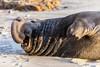 Elephant Seal at Año Nuevo State Park-8002 (马嘉因 / Jiayin Ma) Tags: california park elephant beach water 1 sand state wave route seal año ano nuevo seaocean