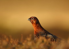 Red Grouse (Martial2010) Tags: red canon scotland angus grouse