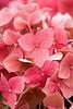 Photo (vranizan) Tags: hydrangea shrub hortensia mophead leuchtfeuer macrophylla hortensis