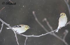 chardonneret jaune - american goldfinch (ricketdi) Tags: americangoldfinch chardonneret chardonneretjaune spinustristis