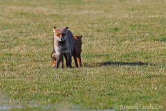 1643 (Arnaud Faucheron) Tags: animal canon sigma fox poil roux herbe renard mammifere 120300mm renardroux 7dmarkii canon7dmarkii sigma120300mmf28apoexdgos