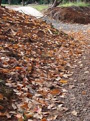 starr-070112-3365-Diospyros_kaki-fallen_leaves-Olinda-Maui (Starr Environmental) Tags: diospyroskaki