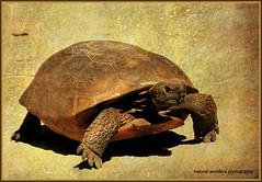 Gopher tortoise crossing the lane (natural wonders photography) Tags: texture florida threatenedspecies gophertortoise walkingandeating northcaptivaisland naturalwondersphotography floridafishandwildlifecommission