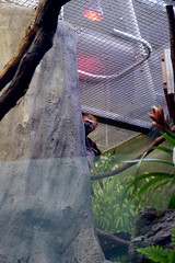 20130304 National Zoological Park, Washington DC 087 (yaoifest) Tags: zoo tamarin goldenheadedliontamarin