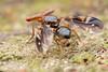 Tephritidae. Themara sp. (David Ball.) Tags: singapore tephritidae themara hammerheadfly canon270ex