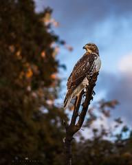 The Sentinel (Michael Bandy) Tags: california wild sky bird nature animal clouds wings hawk wildlife beak socal perch perched prey avian