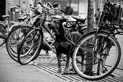 © Inge Hoogendoorn (ingehoogendoorn) Tags: blackandwhite dog dogs bike bicycle waiting zwartwit thenetherlands streetphotography bikes streetscene denhaag hond bicycles blacknwhite thehague fietsen wachten fiets honden bikeparking straatfotografie loyaldog waitingfortheboss dutchbikes wachtenopdebaas trouwehond