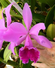Cattleya autumnalis Schuler rubra (Sylvio-Orqudeas) Tags: flowers flores orchids orchidaceae cattleya species orqudeas autumnalis espcies