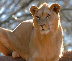 My last lion image this winter..... (tvdflickr) Tags: male georgia zoo nikon lion zooatlanta d610 rimlighting 200500mm nikond610 photosbytomdriggers photobytomdriggers thomasdriggersphotography