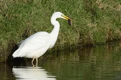 _HNS8220 Grote Zilverreiger : Grande Aigrette : Egretta alba : Silberreiher : Great Egret