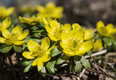early bloomers (Dailyville) Tags: flowers ohio bloom aconite earlybloomers dailyville bristolvillage ohiofoothills