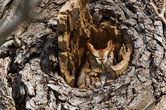 """Occupant"" (Eastern Screech Owl: Red Morph) (Jesse_in_CT) Tags: easternscreechowl screechowl nikon200500mm"