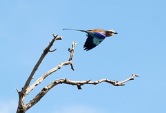 Roller takes flight (scrambldmeggs) Tags: africa travel bird branch kenya flight wing safari mara maasaimara lilacbreastedroller