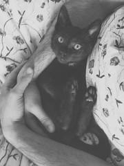 The Balthasar (BalthasarLeopold) Tags: pet pets animal animals blackcat mammal kitten feline kittens felines indoorcat