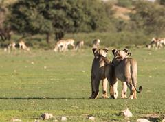 Keeping an eye on a Springbok herd (jaffles) Tags: park nature southafrica wildlife natur lion olympus safari predator kalahari ktp südafrika löwe transfrontier raubkatze kgalagadi