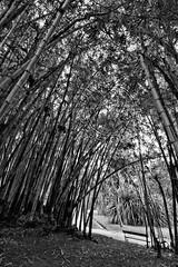Bambu - Bamboo (adelaidephotos) Tags: brazil bw grass rio brasil riodejaneiro blackwhite flora pb bamboo jardimbotânico botanicalgarden pretoebranco bambu bambusavulgaris bambuzal pretobranco gramínea mariaadelaidesilva