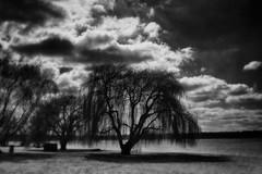 Trauerweide (ViktorHi) Tags: baum trauerweide