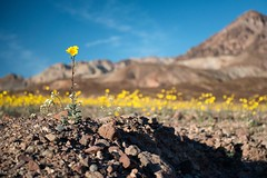 """Desert Gold"" (helmet13) Tags: white flower nature yellow flora raw desert bokeh gettyimages selectivefocus aoi linanthusdemissus geraeacanescens deathvalleynationalpark 100faves peaceaward heartaward platinumheartaward superbloom world100f d800e"