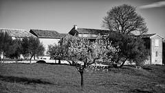 Cherry Blossom (JamesRKC) Tags: blackandwhite bw france flora cityscape gard lightroom uzes blancetnoir niksoftware