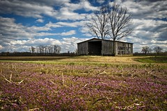 Henbit Barn Redux (Notley) Tags: bridge sky field architecture clouds barn rural march spring weeds weed purple missouri callawaycounty bucolic purpleflowers henbit 2015 riverbottoms 10thavenue mokanemissouri notley rurallandscape ruralphotography missouririverbottoms purpleblooms notleyhawkins callawaycountymissouri missouriphotography httpwwwnotleyhawkinscom notleyhawkinsphotography henbitblooms