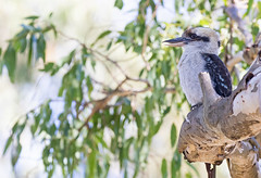 Laughing Kookaburra (christinaportphotography) Tags: wild tree green bird leaves birds dof bokeh free australia nsw kookaburra lakemacquarie dacelonovaeguineae laughingkookaburra myunabay