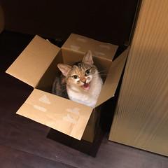 20160304cats004 (detsugu) Tags: cats kinako 20160304