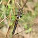 Common baskettail, female (Epitheca cynosura) - New