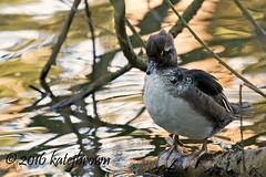 Molting (katejbrown photography) Tags: sanfrancisco goldengatepark bird nature duck wildlife stowlake molting hooded merganser katebrown katejbrown
