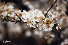 (Ousia Dark) Tags: flower color colour macro tree planta primavera arbol spring nikon bright flor depthoffield brillante profundidaddecampo airelibre colorespastel floracion flordealmendro nikond40 photoshopcs6