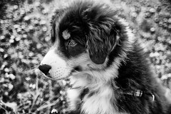 Growing Up (Lynleigh Cooper) Tags: light portrait blackandwhite dog pet pets cute love dogs nature monochrome beautiful beauty animal animals contrast puppy outside outdoors photography photo nikon flickr photographer photos sweet outdoor gorgeous grow adorable cutie photograph cuddly doggy growing lovely aussie australianshepherd naturalbeauty popular doggie blackandwhitephotography photooftheday cuteanimals nikond610