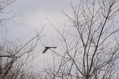 Red Tailed Hawk - Green County, WI (turn off your computer and go outside) Tags: bird nature wisconsin outdoors march inflight spring hawk critter wi baretrees redtailedhawk earlyspring barebranches clearday firstdayofspring 2016 coldday identified greencounty page98 birdofbrey albanywildlifearea birdsofminnesotaandwisconsin
