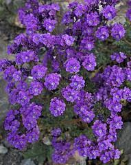 Notch-leaved Phacelia (Phacelia crenulata) (Ron Wolf) Tags: california flower nature nationalpark desert explore wildflower panamintvalley deathvalleynationalpark boraginaceae phaceliacrenulatacrenulata