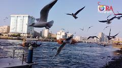 Segal bird flying_Abra_Bur Dubai,UAE (R A J U A L F A J Photography) Tags: dubai segal bird flyingabrabur uae طائر سيجال ، أبرا بر دبي الإمارات العربية المتحدة huawei chmu01
