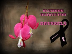 Bleeding Hearts for Brussels (Linda DV) Tags: terrorism terroristattack bombing airport brussels subway isis daech stupidity crime hatred senseless nationalbotanicgardenofbelgium meiseplantentuin jardinbotanique arboretum bouchout boechout geotagged canon flower belgium meise plantentuin spring plant nature flora plante planta lamprocapnosspectabilis dicentraspectabilis bleedingheart ladyinabath dutchmanstrousers powershotss5is lindadevolder powershots5is 2010 nationaleplantentuinmeise picmonkey papaveraceae ranunculales dicentra lamprocapnos