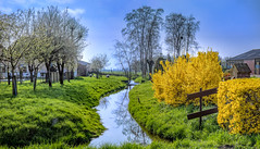 Spring (Jorden Esser) Tags: trees dog tree water yellow rural fence landscape canal spring stream sheep farm meadow orchard forsythia brook pastoral grassland idyllic blooming dutchlandscape middendelfland htmt nederlandvandaag treemendoustuesday